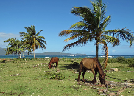 horses on the coast of the Dominican Republic Stock Photo