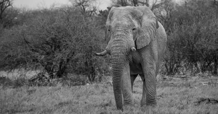 Etosha Elephant in Namibia Black  White Africa