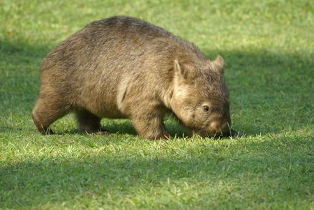 wombat: Vombatidae (Zool�gico de Australia, Queensland Austrlia) Foto de archivo