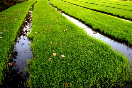 paddy field1 photo