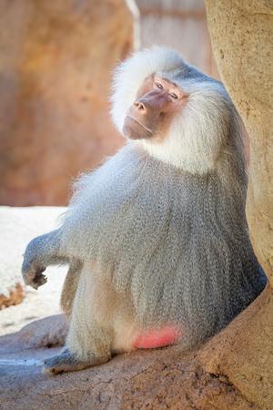 Baboon vertical side view portrait of monkey, ape in the Honolulu Zoo on Oahu, Hawaii.  Portrait of gray Baboon.