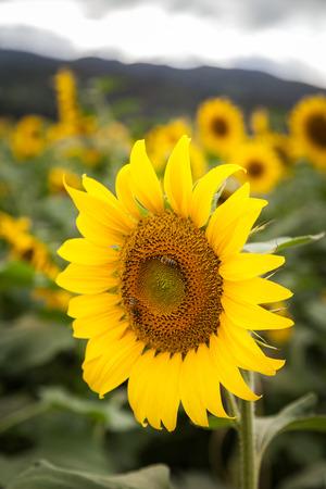 Sunflower field landscape and closeup in Oahu, Hawaii, USA.