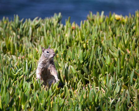 Portrait of a common squirrel in the grass along the rocky coastal cliffs of La Jolla, San Diego, California. 스톡 콘텐츠 - 101588556