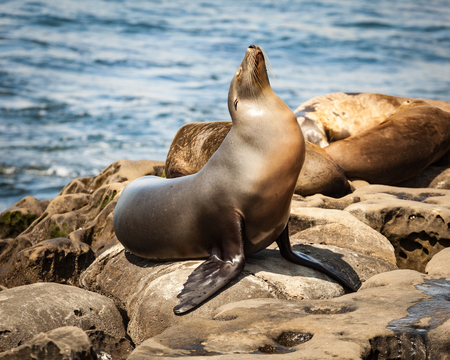 Portrait of a common, california sea lion in La Jolla Cove, San Diego, CA basking in the afternoon sun on the rocky coastline.