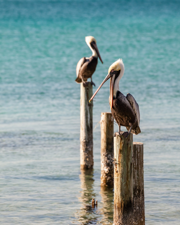 Two pelicans resting on wood pilings in Destin Harbor, Florida. 스톡 콘텐츠 - 101513797