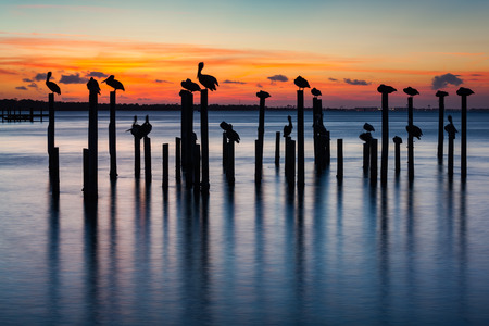 Sunset silhouettes of pelicans on old pier pilings in Destin Harbor, Florida, USA.