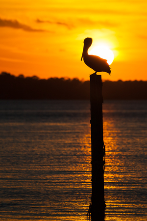 Silhouette of an isolated pelican sitting on a piling in Destin Harbor, Florida at sunset. 스톡 콘텐츠