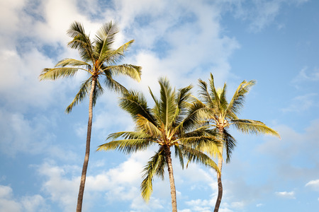 Three tropical palm trees wave in the breeze under a sunny blue sky on Oahu, Hawaii, USA.