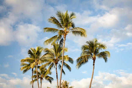 Multiple tropical palm trees wave in the breeze under a sunny blue sky on Oahu, Hawaii, USA. 스톡 콘텐츠