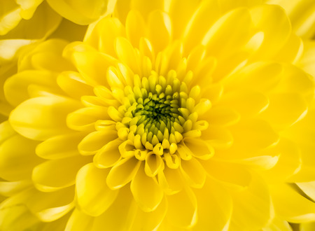 Beautiful Yellow chrysanthemum head centered in the image which is soft by nature and has an ethereal pleasing look.