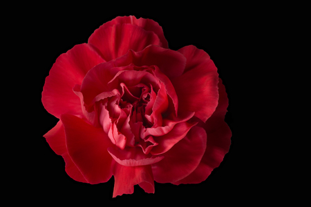 A beautiful Red Carnation head on a black background. The image is red and warm in colour and has a slight bokeh on the outer edges which is [pleasing to the eye. The Flower is slightly off centre to the left.