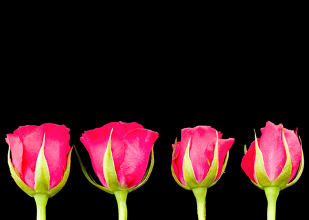 Four bright pink roseheads in a row with green stems and isolated on black. The flowers are positioned in the lower half of the image to allow text to be applied
