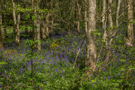 Park woodlands at the start of summer with bluebells and the sun reflecting through the trees causing shadows. Banco de Imagens