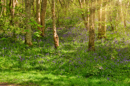 Eglinton Park woodlands situated within the park at the start of summer with bluebells and the sun reflecting through the trees.
