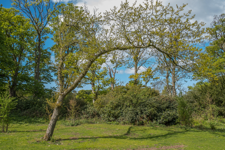 Fullerton Country Park at the start of summer as the trees are a lush green colour and this odd shaped spindly tree in Scotland. Stock fotó