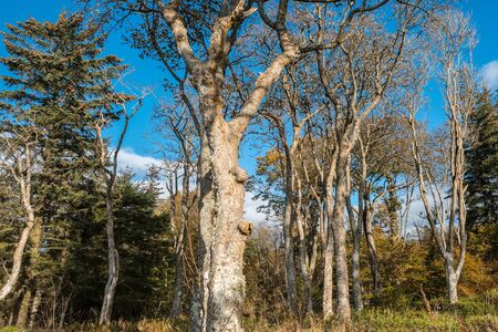 Mature Scottish Trees stripped of their foliage in Autumn with the bark all gnarly and ancient. Stock Photo