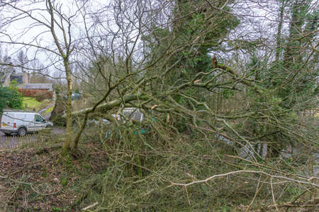 Irvine, Scotland, UK - February 24, 2021: Ancient tree at Perceton in Irvine blown down by strong winds which luckily missed nearby residential housing and is now being cut down and made safe.