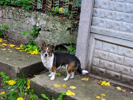 Lonely dog on the street. An alarming look of a dog. Street life of pets. Фото со стока