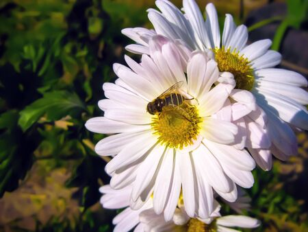 A bee collects nectar on a white flowering chamomile. Yellow-black striped bee on a flower close-up. Summer background.