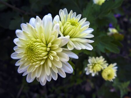 Chrysanthemum (Chrysánthemum) is a genus of annual and perennial herbaceous plants of the Astra family, or Compositae. Ornamental garden plant with white flowers close-up. Фото со стока
