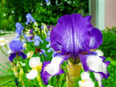 Blue and purple iris flowers grow on the flowerbed. Purple iris flowers close-up. Beautiful natural background. Iris or Kasatik, or Cockerel (Latin Íris) - a genus of perennial rhizomes of plants of the Iris family, or Kasatikova