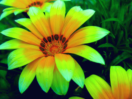 Gazania harsh (Gazania rigens) is a plant of the Astrov family that grows in South Africa and Mozambique, and is also cultivated in other places as an ornamental plant, has a bright color.