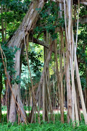 banyan: Banyan �rboles en Sarasota, Fl
