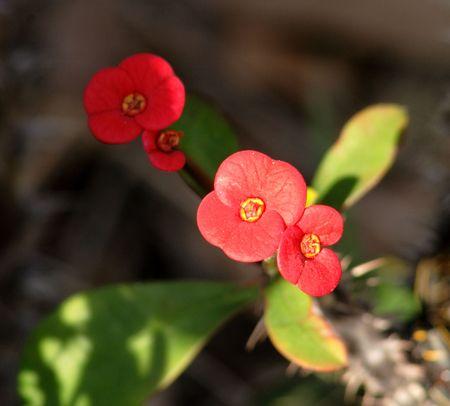 dicot: Chiudasi in su delle brattee su una parte superiore della pianta delle spine (deserto Rosa) Archivio Fotografico