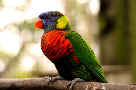 psittacidae: Colorful lorrie sitting on perch