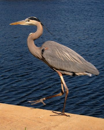 Great blue heron walking along the waters edge