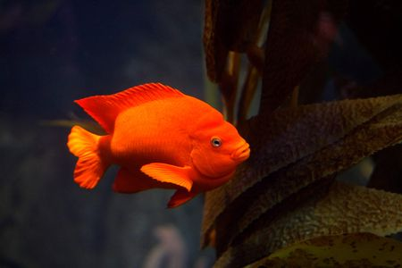 Solitary bright orange garibaldi damselfish swimming