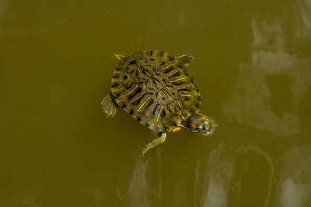 Box turtle swimming around in a pond Stock Photo