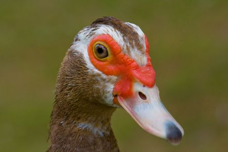 Close up of the head of a muscovy duck Stock Photo