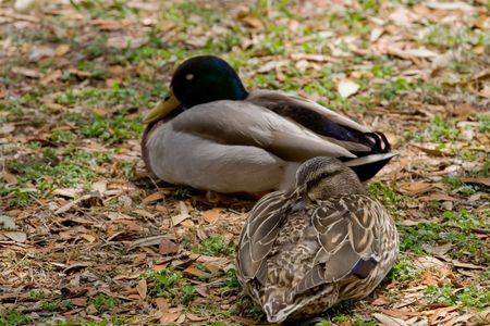 Two ducks sleeping with focus on front duck Stock Photo