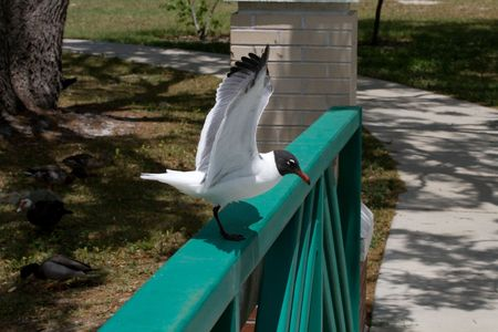 Seagull on rail with wings spread upwards