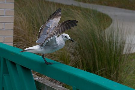 Seagull sitting on a rail with wings out stretched