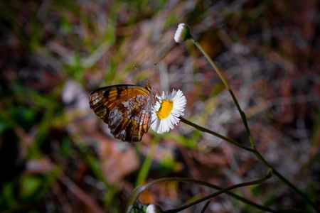 Phaon Crescent butterfly resting on a small flower Stock Photo