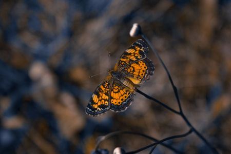 Phaon crescent butterfly resting on flower with wings spread Stock Photo
