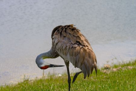 Sandhill crane standing on one leg preening against water background Stock Photo