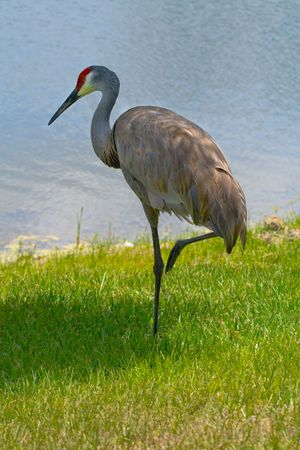 Sandhill crane standing on one leg against grass and water