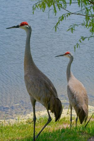 Two sandhill cranes standing near the edge of a lake