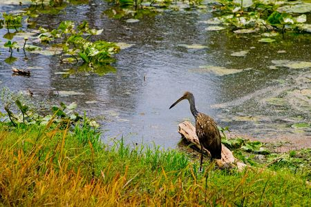 ciconiiformes: American bittern wading at the edge of the river bank Stock Photo