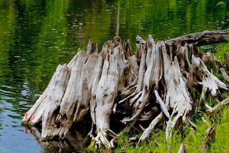 The eroded base of a riverside cypress tree Banco de Imagens