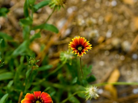 Partially opened blanket flower close up with selective focus Stock Photo