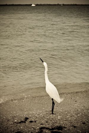Snowy egret looking skyward on the beach in grainy oldtime Photo photo