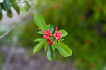セレクティブ フォーカスの背景から分離するために木の Jatropheae の花