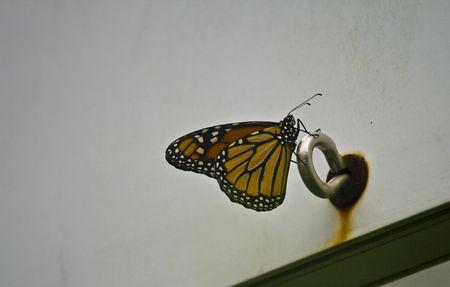 plexippus: Monarch Danaus plexippus perched on metal ring