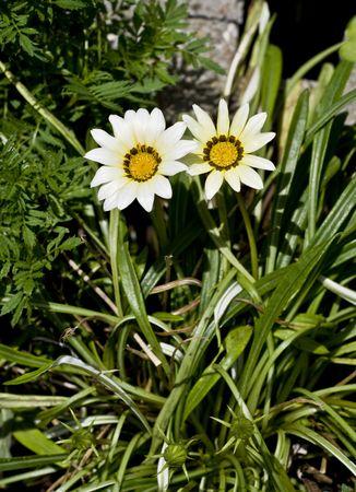splendens: White Gazania Splendens flower shown against foliage