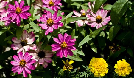 bracts: Cluster of Zinnia angustifolia with purple colored bracts with some marigolds