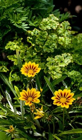 Yellow Gazania splendens Daybreak Red Stripe with color spikes in petals photo